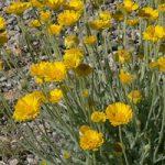 Desert Marigold Plant Phoenix AZ