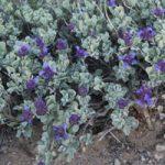 Desert Sage Plant Phoenix AZ